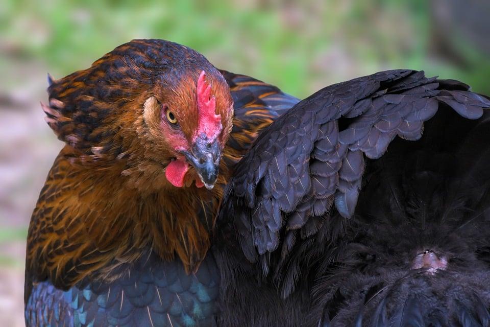 Poulailler avec palettes